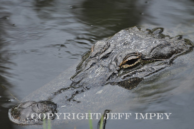 American alligator  taken on the Gulf Coast in Mississippi.
