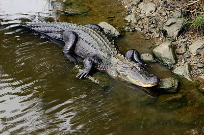 I was about 15ft away from this gator when I shot this image.