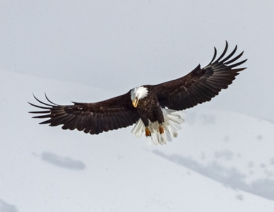 The essence of an Eagle,  Bald Eagle .