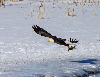 Oh my, I stole part of a fish.  Bald Eagle