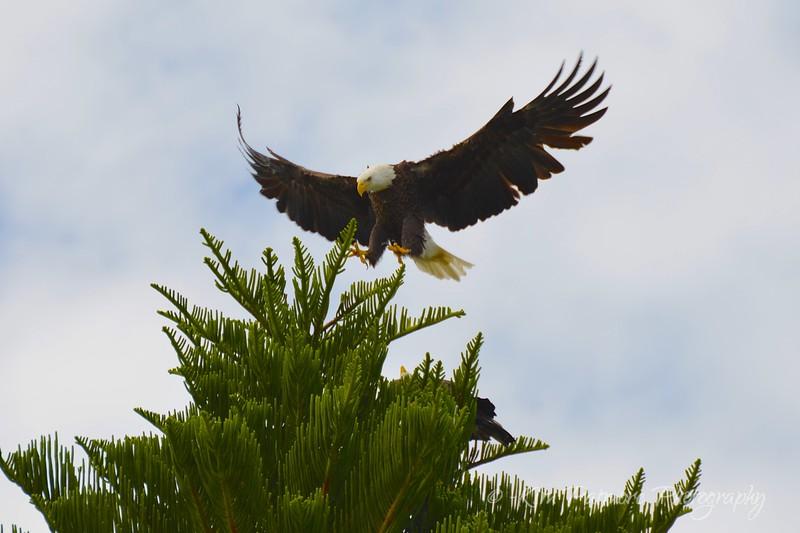 Bald Eagles Defending Territory