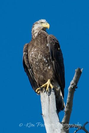 Juvenile American Bald Eagle