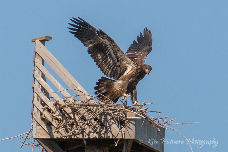 Juvenile Bald Eagle - Wing Testing