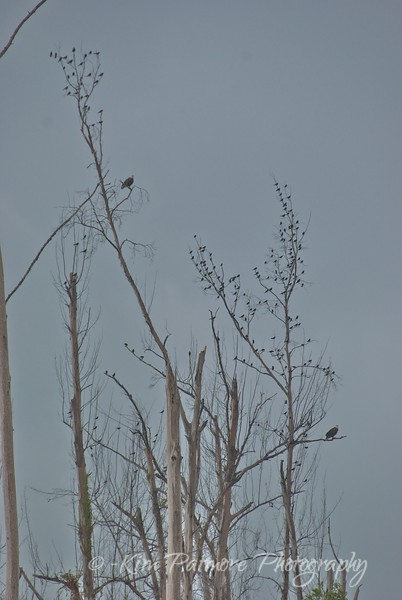 Bald Eagles and Friends