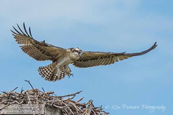 Juvenile Osprey - Wing Testing