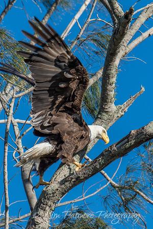 Bald Eagle-9430