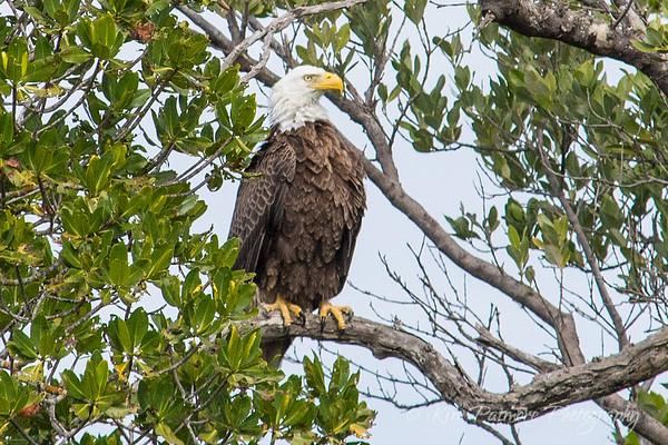 Bald Eagle-6743