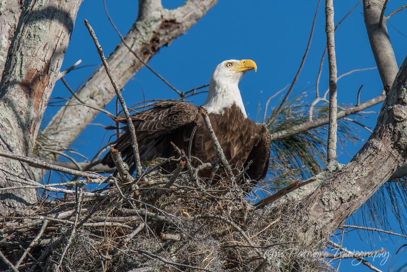 Bald Eagle-9424