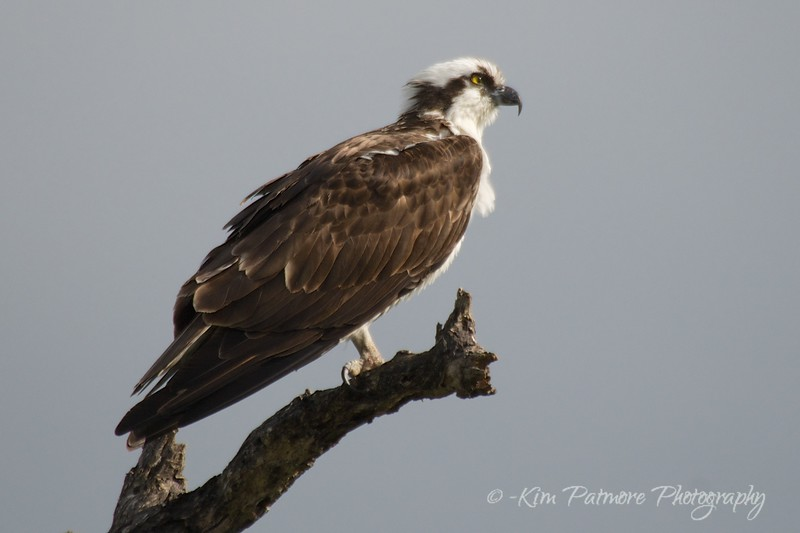 Posing Osprey