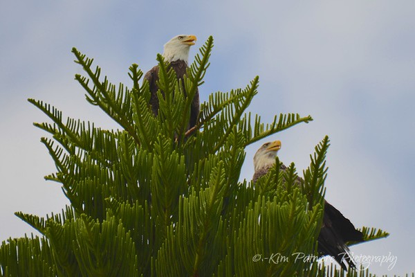 Bald Eagles - Defending Their Territory