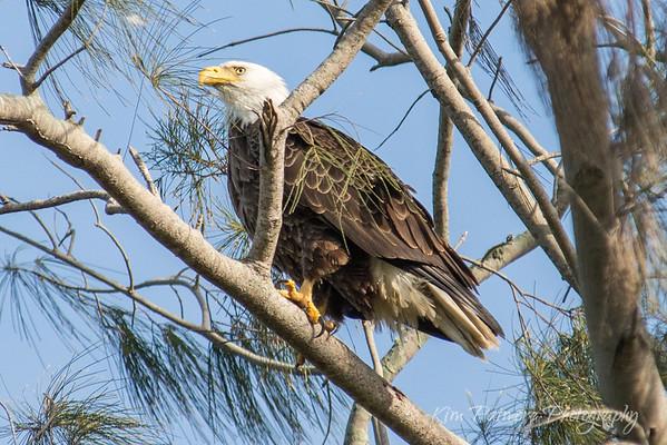Bald Eagle-5008