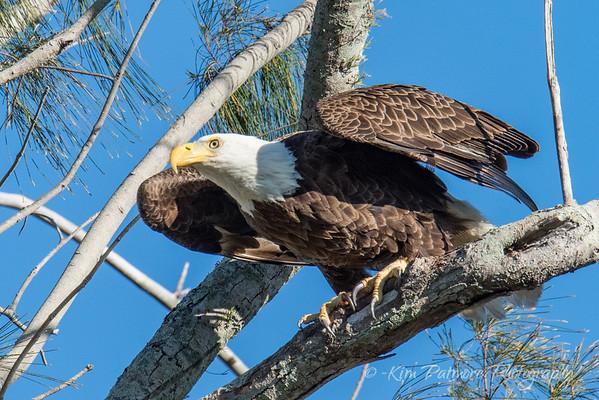 Bald Eagle-9446