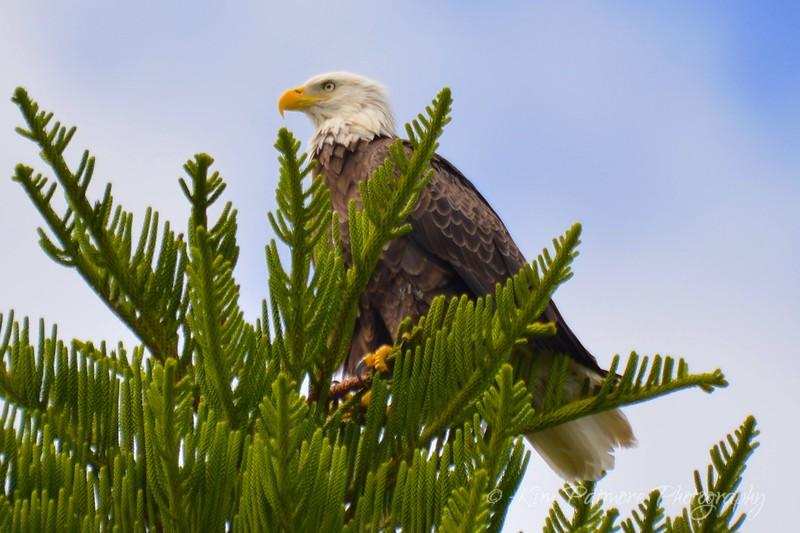 Bald Eagle - Defending It's Territory