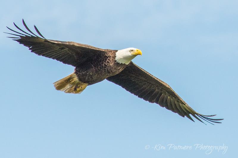 Bald Eagle-6763