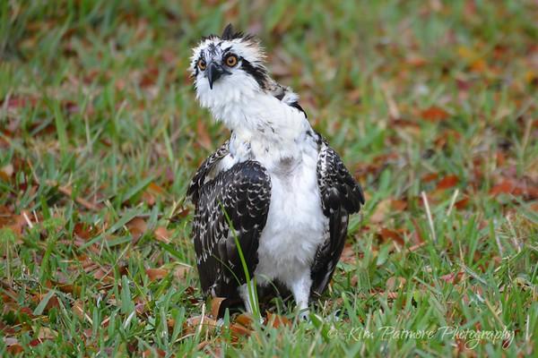 Curious Juvenile Osprey