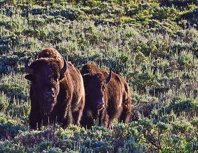 Early morning Bison