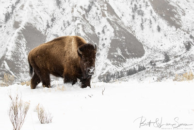 Bison In Winter-Yellowstone