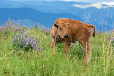 Baby Bison and Lupine #2
