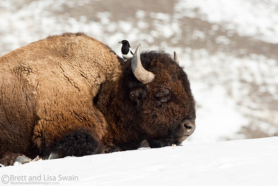 Winter Friends (bison and magpie)