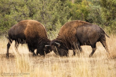 Bison Bulls Fighting