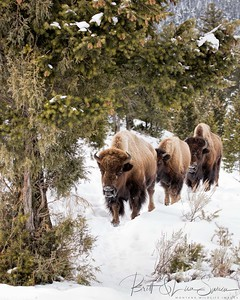 Bison Heading Into the Trees