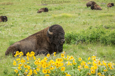 Balsamroot and Bison Bulls