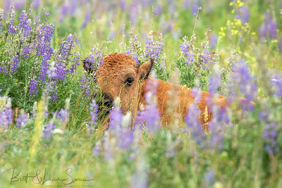 Baby Bison Rests in Wildflowers