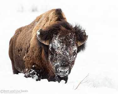 Snowy Faced Bison