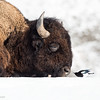 Nasal Inspector-Magpie and Bison