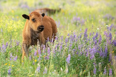 Baby Bison and Purple