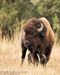 Bison Pose
