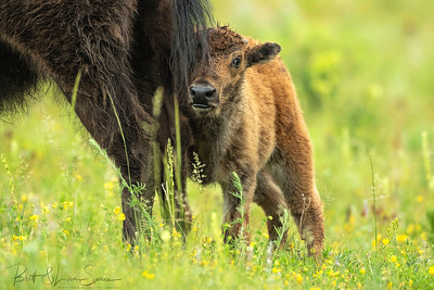 """Always Close to Mama""-baby bison"