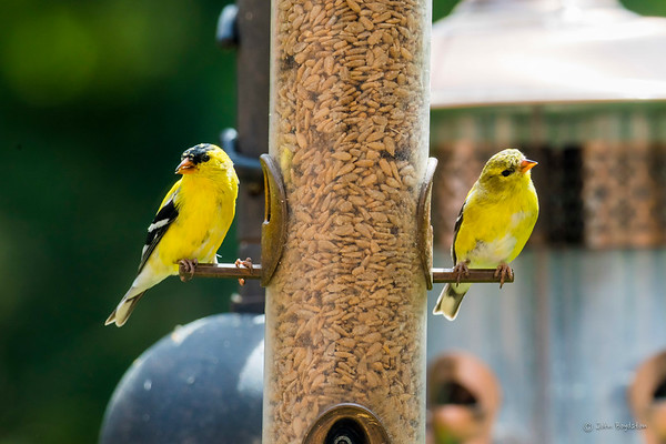 American Goldfinch & other Backyard Birds