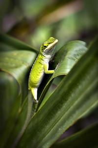 Barataria Lizard