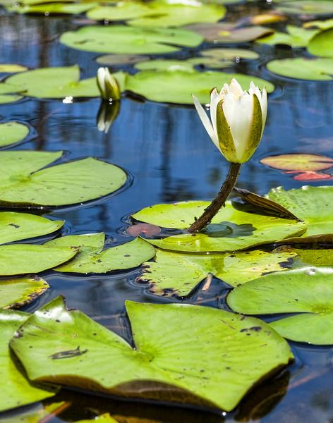 Big Branch Lilly Pad