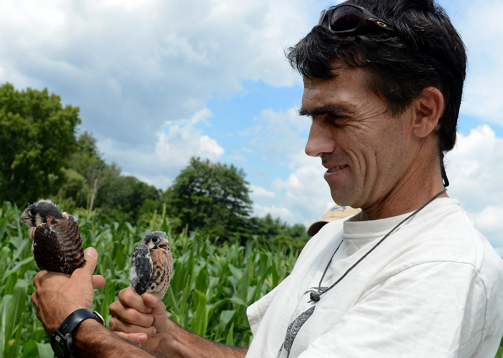 . Tania Barricklo-Daily Freeman                       Zach Smith, an independant biologist with federal and state banning permits, gathered  four American kestrel chicks from a kestrel box located on a  Lamontville farm for the purpose of placing  bands on their legs. Data will be collected about their behavior for the Ulster County American Kestrel Nesting Box Project which Smith founded. The data is shared with the American Kestrel Partnership in Boise, Idaho through the Peregrine Fund. Above, Smith holds a female chick on the left and male on the right, two of the four three week old chicks. The chicks were being closely watched by nervous parents who could be heard and seen nearby. The American Kestrel is the smallest of the diurnal (daytime) raptors in the falcon family which prey upon rodents, medium to large insects, and small birds. They are migratory and can be found in this area between the months of March and October, afterwhich they migrate to the south east of the United States.