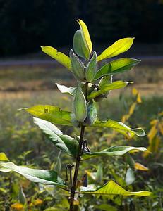 Milkweed blossoms feed monarch butterflies.
