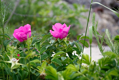 Seaside Rosa rugosa