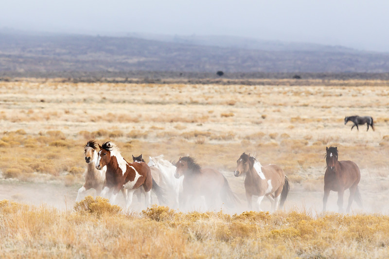 Onaqui Wild Mustangs
