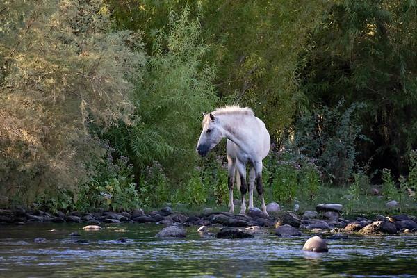 Salt River Wild Stallion | Tonto National Forest | Arizona
