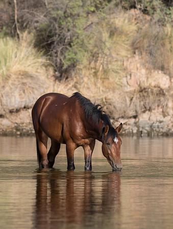 Salt River Mustang | Saguaro Lake | Arizona