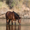Salt River Mustang | Saguaro Lake | Arizona