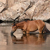 Salt River Wild Mustang | Tonto National Forest | Arizona