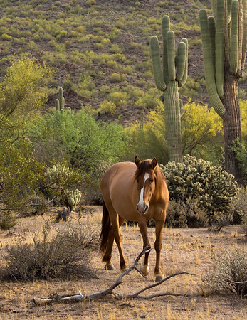 Salt River Mustang | Tonto National Forest | Arizona
