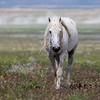 Onaqui Stallion | Utah