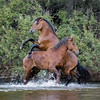 Salt River Mustangs | Saguaro Lake | Tonto National Forest | Arizona