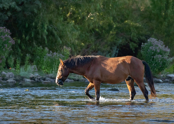 Salt River Wild Stallion | Tonto National Forest | Arizona