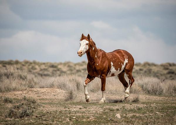 Wild Stallion | Sand Wash Basin | Colorado