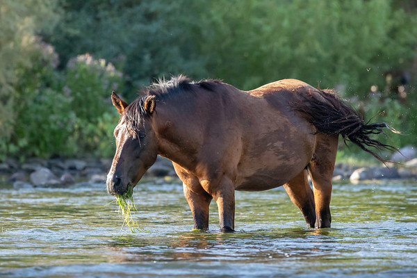 Sat River Wild Stallion | Tonto National Forest | Arizona
