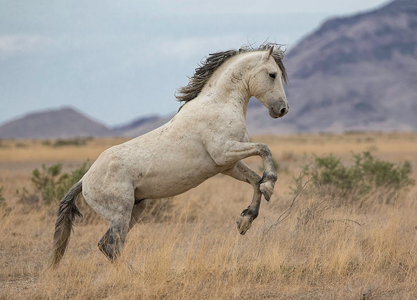 Onaqui Wild Stallion | Utah